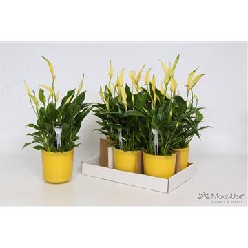 Spathiphyllum 13 cm Bellini Make Upz