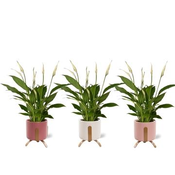 Spathiphyllum 12 cm Torelli