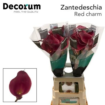 Zantedeschia Red charm