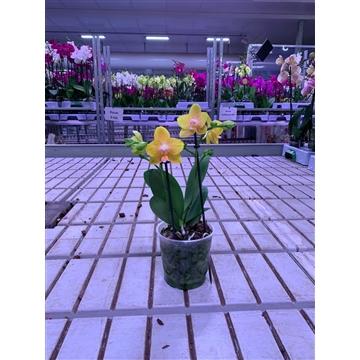 Phal. Multi Yellow - 2 spike 12cm Feel Green