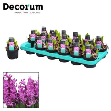 Hyacint Multiflora Paars
