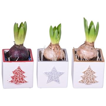 Hyacint in painting kerst