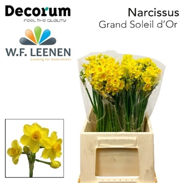 Narcissus Grand Soleil d'Or.