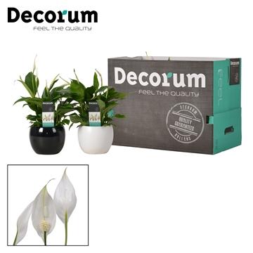 Spathiphyllum 13 cm Bellini Decorum