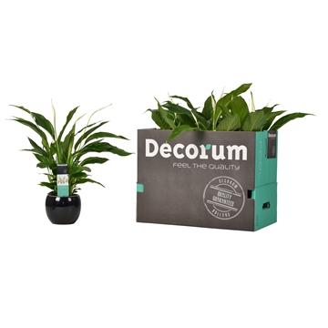 Spathiphyllum 13 cm Strauss Decorum