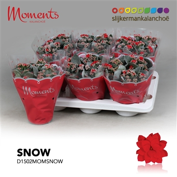 Kalanchoë Moments - Red with snow