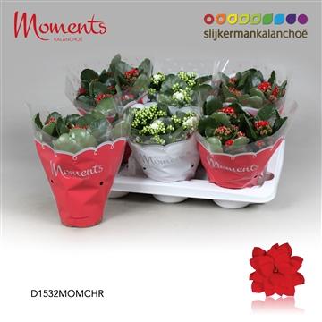 Kalanchoë Moments - Christmas Moments