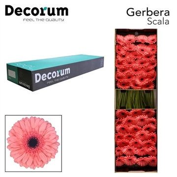 GE GR Scala Decorum