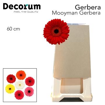 Gerbera Mooyman 60 cm