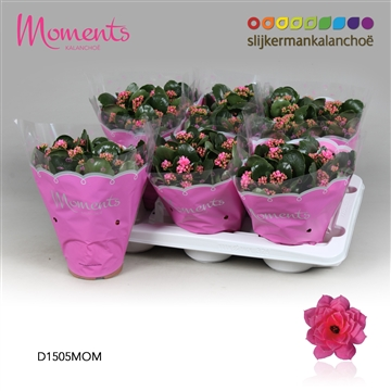Kalanchoë Moments - Pink
