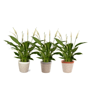 Spathiphyllum 12 cm Torelli in Jelle mand