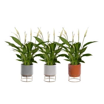 Spathiphyllum 12 cm Torelli in Emma keramiek