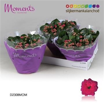 Kalanchoë Moments - Purple