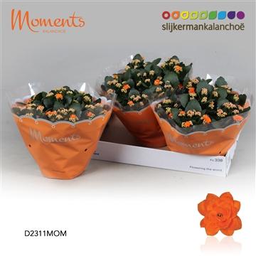 Kalanchoë Moments - Orange