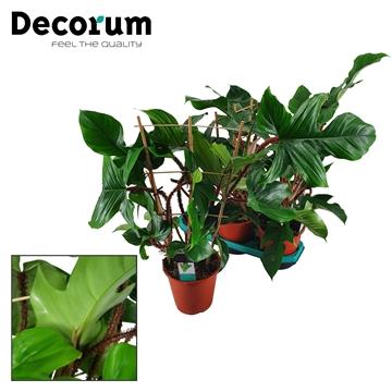 Philodendron Squamiferum Rek 19 cm