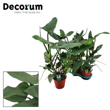 Philodendron Silver Queen Rek 19 cm