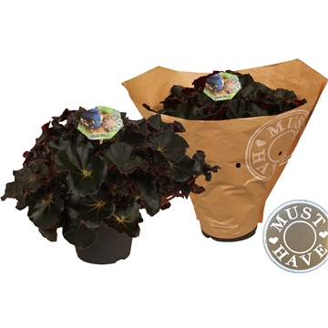 Bladbegonia ''jungle black'' 'must have'