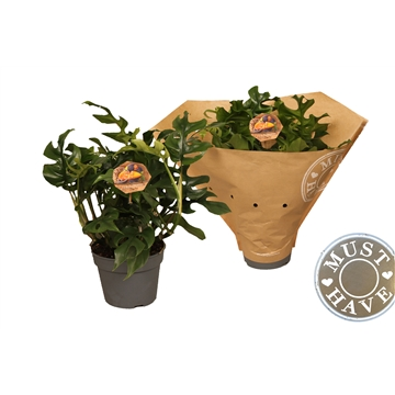 Philodendron ''trophy'' must have