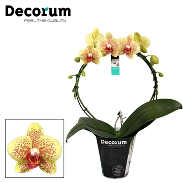 Decorum Mirror Pulsation