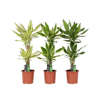Dracaena 3 color mix, 17 cm pot