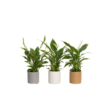 Spathiphyllum 6,5 cm Chopin in Febe - Shades of Natures