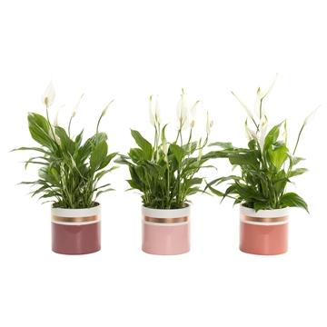 Spathiphyllum 12 cm Torelli in Joy - Moments