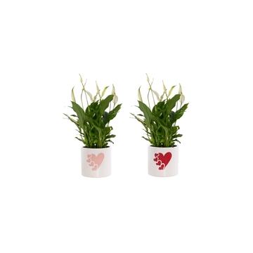Spathiphyllum 13 cm Bellini in Fien - Soft Illusion
