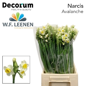 Narcissus Avalanche.