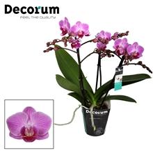 Phalaenopsis Vienna 3 tak vertakt Potmaat 9 Decorum
