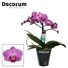 Phalaenopsis Vienna 1 tak vertakt Potmaat 9 Decorum
