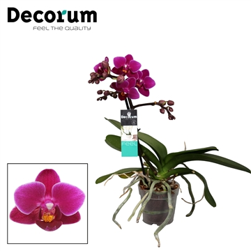 Decorum Purple Princess 1 tak