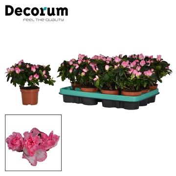 Azalea 9 cm Hulsten - Decorum