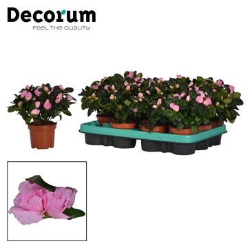 Azalea 9 cm Terra Nova - Decorum