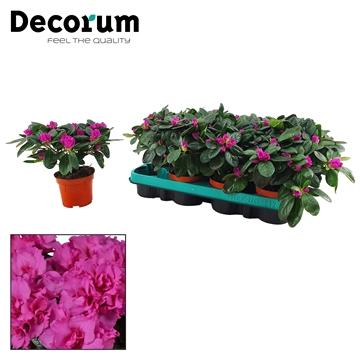 Azalea 9 cm Himalaya - Decorum