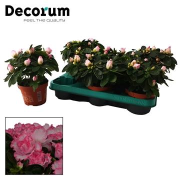 Azalea 10,5 cm Hulsten - Decorum