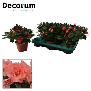 Azalea 10,5 cm Luntera - Decorum