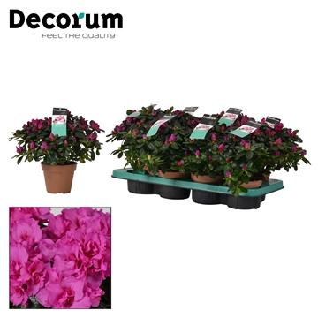 Azalea 12 cm Himalaya - Decorum