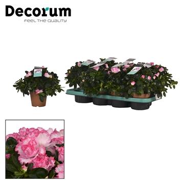 Azalea 12 cm Hulsten - Decorum