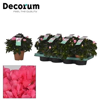 Azalea 12 cm Inka - Decorum