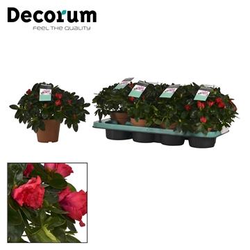 Azalea 12 cm Jimmy - Decorum