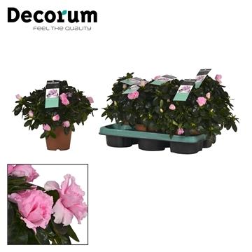 Azalea 12 cm Terra Nova - Decorum