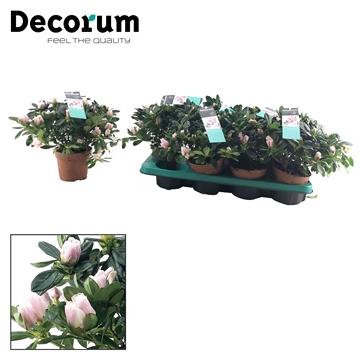Azalea 12 cm Trivor - Decorum