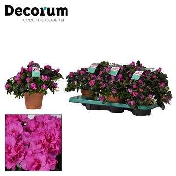 Azalea 14 cm Himalaya - Decorum