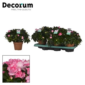 Azalea 14 cm Hulsten - Decorum