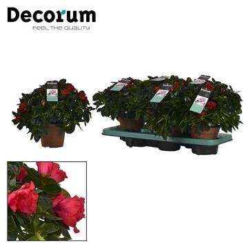Azalea 14 cm Jimmy - Decorum