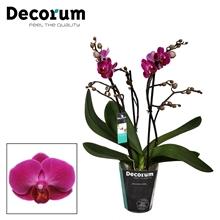 Phalaenopsis Morelia 3 tak vertakt Potmaat 9 Decorum