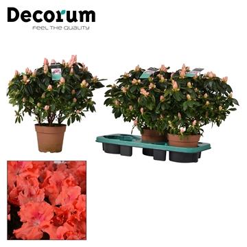 Azalea 17 cm Eiger - Decorum
