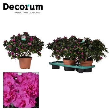 Azalea 17 cm Himalaya - Decorum