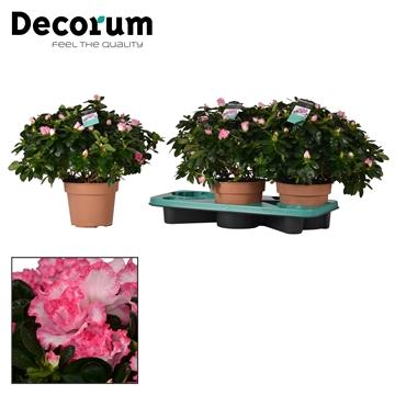 Azalea 17 cm Hulsten - Decorum