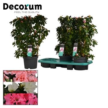 Azalea 17 cm rek mix - Decorum